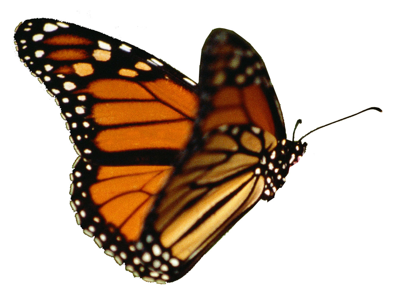 wings of a butterfly would