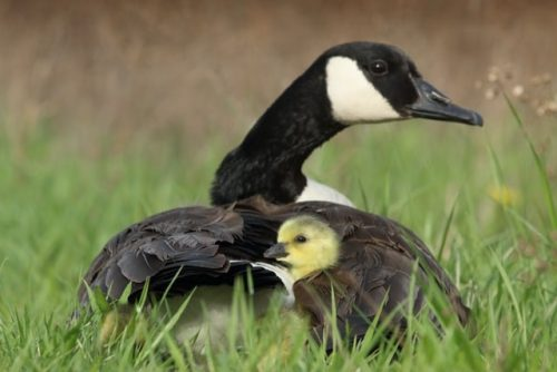 Mother and baby Canada goose